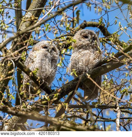 Juvenile Tawny Owls, Strix Aluco Perched On A Twig. This Brown Owl Is A Stocky, Medium-sized Owl Com