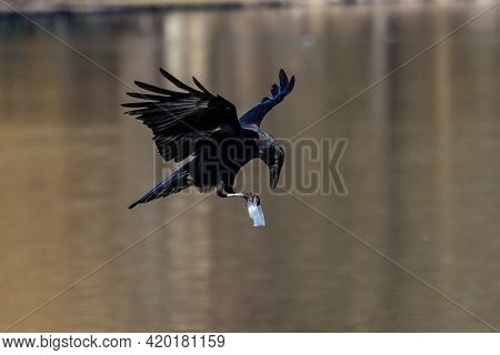 The Common Raven, Corvus Corax Is Flying In The Autumn Color Background At Kleinhesseloher Lake In M