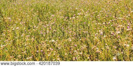 Wild Carduus Nutans (aka Musk Thistle, Nodding Thistleor Or Nodding Plumeless Thistle) In Bloom Natu