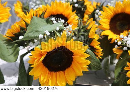 Sunflowers growing in a field. Yellow sunflower. Natural sunflower background. Beautiful sunflower. Landscape with sunflowers. Sunflower field.