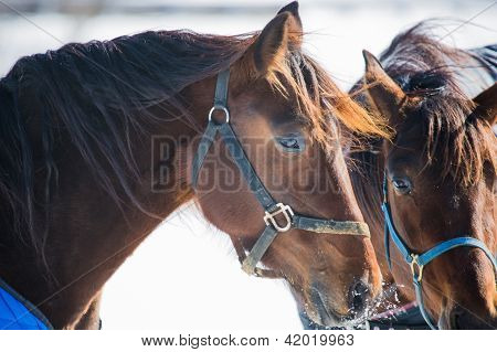 Two horses standing in the cold winter weather one has snow on its face. poster