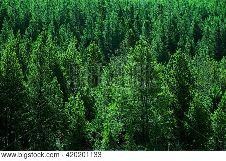 Forest of pine trees green wooded wilderness lusch green