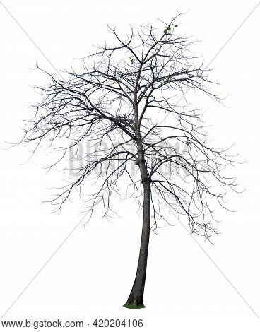 Single Autumn Tree Isolated,  Branches Without Leaves Plant Die Cut On White Background With Clippin