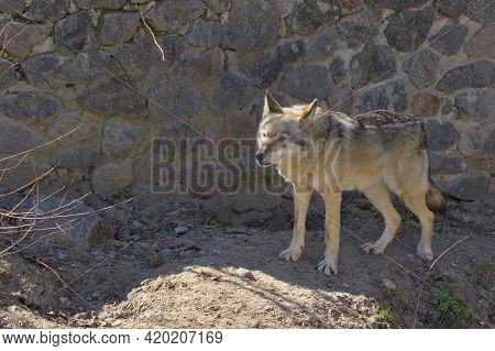A Gray Wolf Stands On A Rocky Path And Inspects The Surroundings. The Gray Wolf, Is A Large Canine N