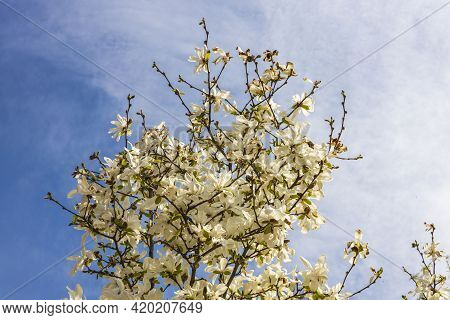 Gorgeous White Blooming Apple Tree On Blue Sky Background. Beautiful Spring Nature Backgrounds. Swed