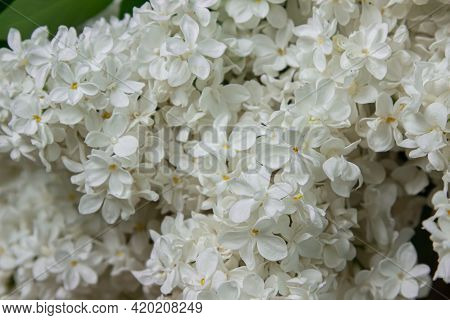 White Lilac On A Black Background. Spring Flowers. Lilac On A Dark Background