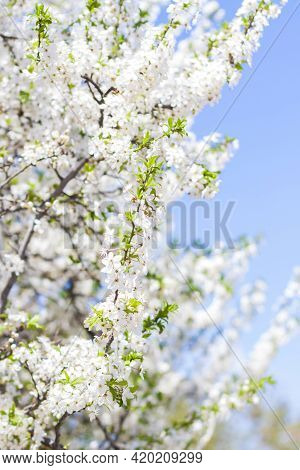 Nature In Spring. A Branch With White Spring Flowers On The Tree. A Flowering Tree. A Blooming Lands