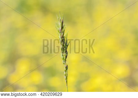 A Meadow Field With Fresh Grass And Yellow Flowers. Summer Spring Natural Landscape. A Blooming Land