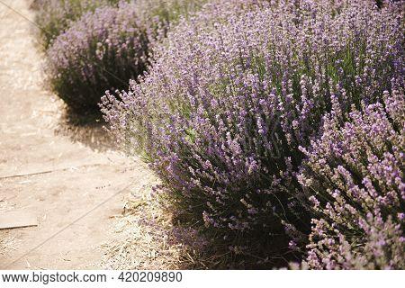 Lavender Bush . Selective Focus On Lavender Flower In Flower Garden. Beautiful Detail Of A Lavender.