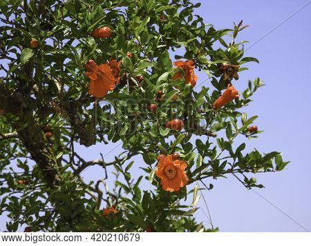 Branch With Flowers And Ovary Of Fruit Of A Pomegranate Tree Close-up Against A Background Of Green