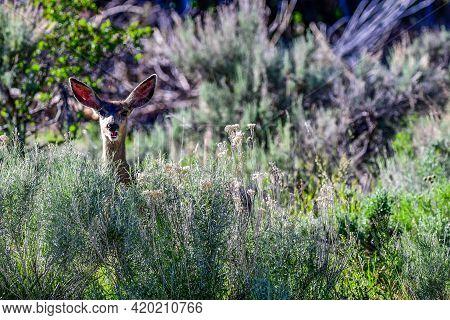A Mule Deer Near Mount Pleasant City, Utah