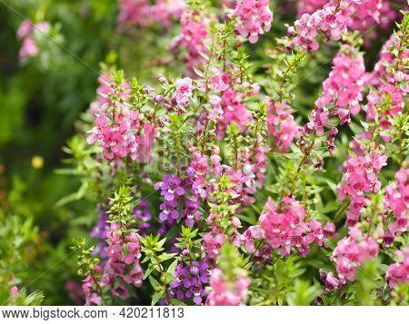 Forget Me Not  Angelonia Goyazensis Benth, Digitalis Solicariifolia Name Purple Flower Pink Flower O