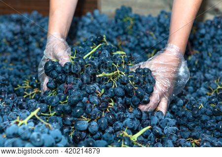 Hands Working With Grape For Wine Making . Dark Grapes For Winemaking