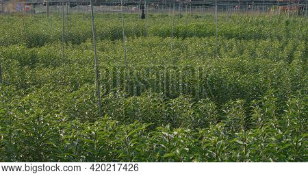 Lily farm without flower under sunlight in countryside