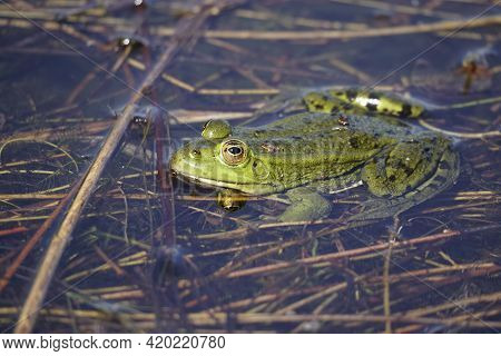 The Green Frog In The Month Of May Sits In The Water Of The Lake. Warm Up The Sunny Day. Amphibian