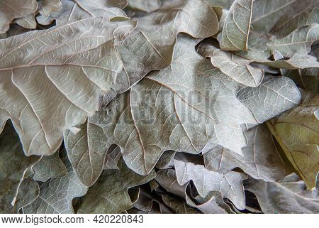 Dry Leaves From An Oak Bath Broom Close-up. Background Image