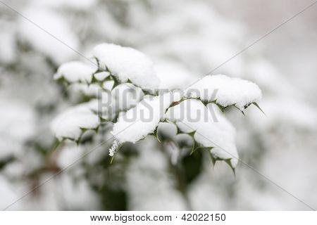 Ilex Aquifolium With Snow