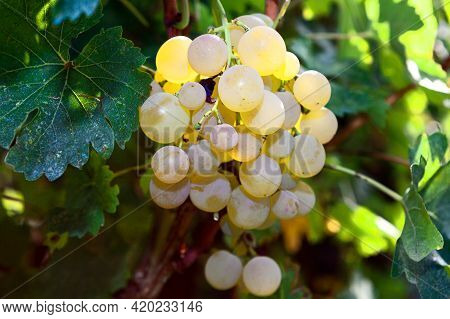 Riesling Popular Sweet Grape Growing In Autumn