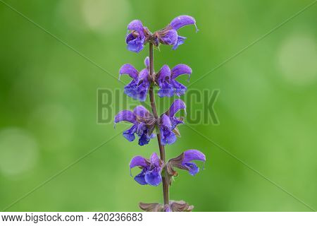 Inflorescence Of A Meadow Clary (salvia Pratensis) Green Background In Summer