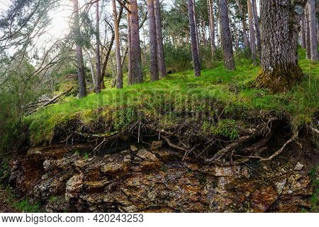 Green Forest With Tall Trees And Soil With The Roots In The Air, Sun Glints Through The Trees. Guada