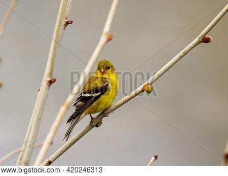 American Goldfinch Perched In Tree In Spring