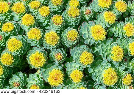 Rhodiola Rosea Blossom By Springtime At Sunny Day.beautiful Green Background