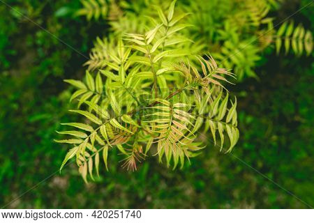 Sorbaria Sorbifolia  In Spring With Yellow Leaves.