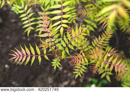 Sorbaria Sorbifolia  Garden With Colored Leaves On A Background Of The Earth.