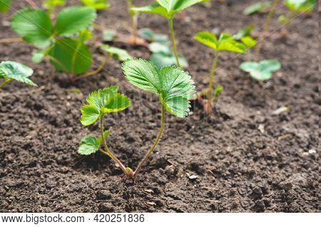 Many Small Plants Of Garden Strawberry.