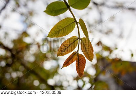 Branch With Leaves Of Chestnut. Chestnut Leaves In Sun Rays. Fresh Chestnut On Branch With Yellow Le
