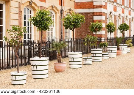 London, Uk - July 22, 2011. Row Of Citric Fruit (lemon) Trees, Standard Trees In Containers At Hampt