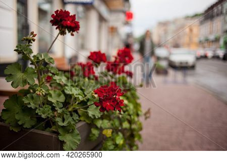 Flower Bed With Red Petunias On The Street. Colorful Decoration Artificial Flower In The Pot. Fragme