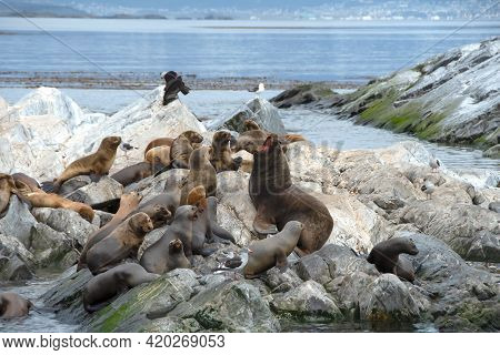 Sea Lions In The Beagle Channel, Near Ushuaia, Argentina.