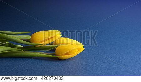 Bouquet Of Bright Pink Natural Tulip Flowers With Green Leaves On Dark Blue Paper. Seasonal Colorful