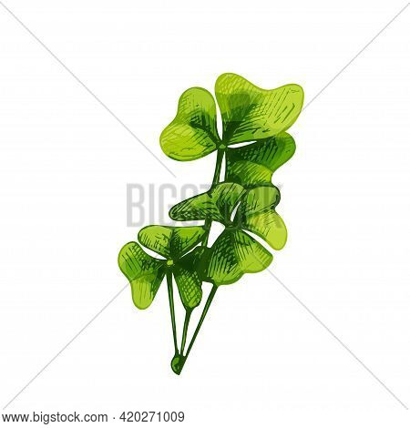 Oxalis Fresh Green Branches With Leaves. Vintage Vector Hatching Color Hand Drawn Illustration Isola