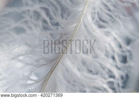 Beautiful White Bird Feather Close-up, Macro, Tenderness