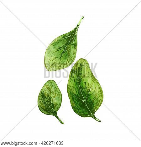 Spinach Fresh Green Leaves. Vintage Vector Hatching Color Hand Drawn Illustration Isolated On White