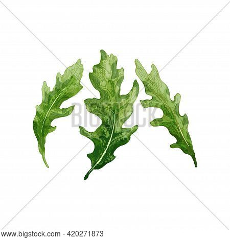 Arugula Fresh Green Leaves. Vintage Vector Hatching Color Hand Drawn Illustration Isolated On White