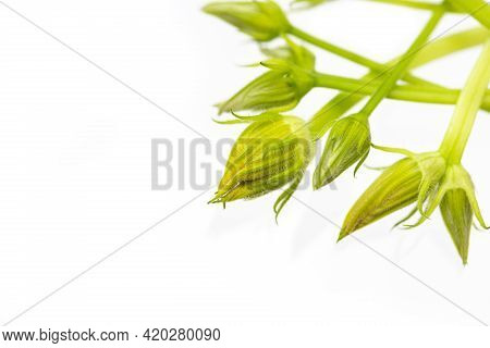 Unopened Buds Of Zucchini Pumpkin Flowers On A White Background. Excess Buds Of Barren Flowers Are R
