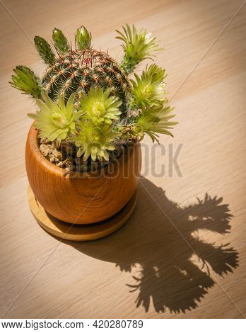 Domestic Mini Cactus In A Clay Pot With Many Large Greenish Flowers, Rome, Italy