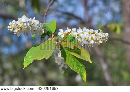 Blooming Branch Of Bird Cherry. Beautiful Blooming Branch Of Bird Cherry In The Garden.