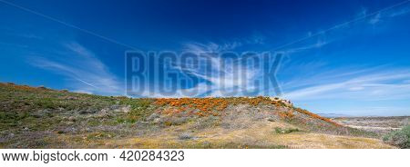 California Golden Orange Poppies On High Desert Hill In The Antelope Valley California Poppy Preserv