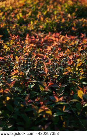 Green Red Orange Hedge Foliage Of Japanese Spirea In Sunlight
