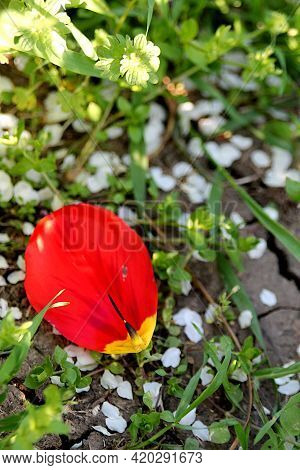 Red Tulip Petal On The Ground Among Cherry Petals.