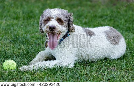 3-year-old Lagotto Romagnolo Puppy Male Lying Down And Resting Near Its Toy. Off-leash Dog Park In N