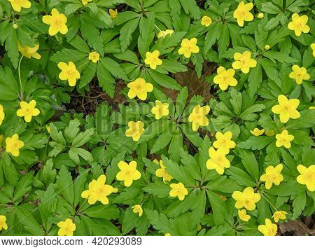 Anemone Ranunculoides, Yellow Anemone, Yellow Wood Anemone Natural Background, Selective Focus