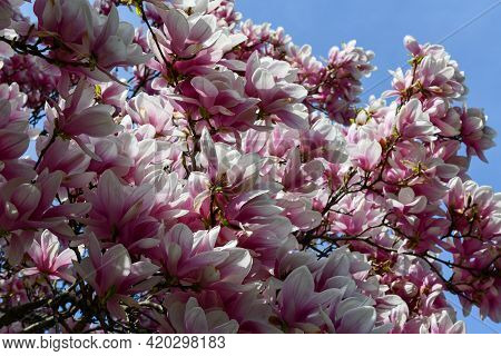 Magnolia Tree Blossoming In Spring In The Conservatory Garden Within Central Park Of New York City