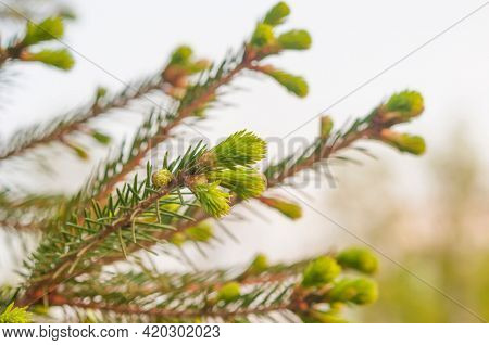 Fir branches with fresh shoots in spring. Young green shoots of spruce in the spring. Spruce branches on a green background.