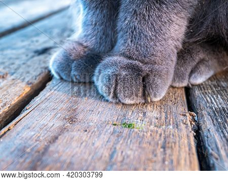 Gray Cat Paws On The Wooden Floor. Cat Paws. Wooden Floor. Animal Claws. Grey Colour. Pets. British
