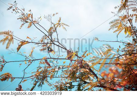 Fresh Tamarind Tree Against Blue Skies View From Below In Tropical Southern Parts Of Sri Lanka,